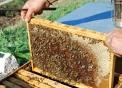 telaio dell'arnia..api sul telaino..ape regina nell'alveare della fattoria didattica..percorso didattico in fattoria sulle api..il mondo delle api in fattoria..miele prodotto dalle api della fattoria didattica per bambini
