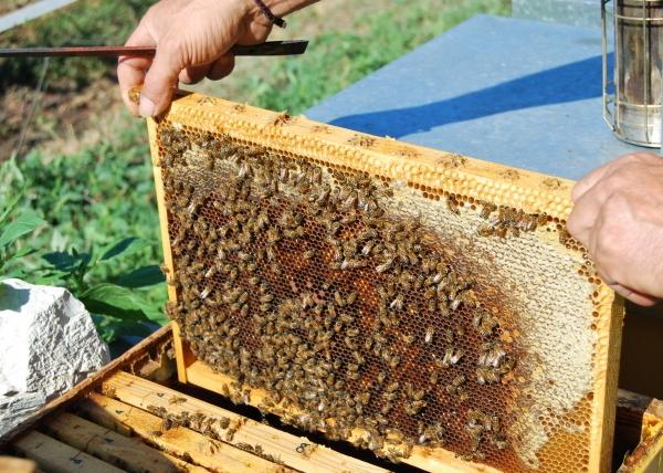 Telaio dell 39 arnia api sul telaino ape regina nell for Immagini api per bambini