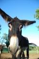 asino della fattoria..asininello nella fattoria didattica per bambini..asino in agriturismo con animali..somarello in una fattoria..