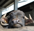 bufala in fattoria..latte di bufala in stalla di bufale..bufale in fattoria didattica per bambini..b&b con animali in agriturismo