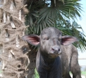 annutolo in fattoria..stalla con bufale e annutoli..carne di bufalo in fattoria..fattoria delle bufale con percorsi didattici per bambini..corna di bufalo..