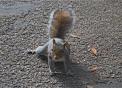 scoiattolo nel bosco della fattoria..B&B in agriturismo nel bosco con animali scoiattolo..roditori scoiattoli sulle piante del bosco..scoiattolo con noci e noccioline nel bosco della fattoria didattica..