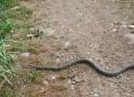 serpente sul prato della fattoria..biacco serpente che striscia..marasso serpente o biscia vive nel prato della fattoria..le bisce mangiano i topi dannosi all'agricoltura,serpente striscia sul campo