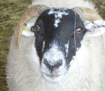 foto animali della fattoria,fattorie didattiche:pecora-dalla pecora si ricava della calda lana e del buon latte x produrre dell'ottimo formaggio.bere latte fresco appena munto nelle fattorie didattiche,agriturismi in provincia di varese,fattoria animali