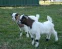animali della fattoria a Carnago da Cogo Giorgio