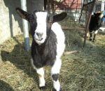 foto animali della fattoria,fattorie didattiche:capra-la capretta essendo un mammifero produce del buon latte.Tutti dovremmo bere il latte fresco appena munto nelle fattorie didattiche,agriturismi in provincia di varese,fattoria animali