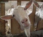 foto animali della fattoria,fattorie didattiche:capre-la capretta ha la barbetta, capra di razza saanen produce tanto latte.Tutti dovremmo bere latte fresco appena munto in fattoria didattica,agriturismi in provincia di varese,fattoria animali