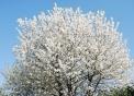 pianta di ciliegio in fiore..fiori di ciliegio..ciliegio nella fattoria didattica..ciliegio impollinato da insetti utili..pianta di ciliegio con ciliegie e fiori..fattoria didattica con ciliegi