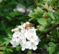 ape sul fiore..insetto ape vola di fiore in fiore..ape bottinatrice sul fiore..ape in cerca di polline..ape insetto pronubo utile all'impollinazione delle piante..