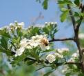 insetti pronubi..ape operaia in volo..ape bottinatrice sul fiore..casa delle api..casa per insetti..ape della fattoria didattica