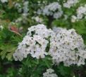 arbusto in fiore di biancospino..negli arbusti della siepe vivono insetti utili e nidificano uccelli..cespuglio di arbusto in fattoria didattica..biancospino in fiore..