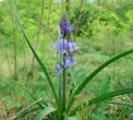 fiori viola a campanella nel bosco della fattoria..percorso didattico nel bosco per le scuole..impariamo i fiori e le piante e le tracce degli animali