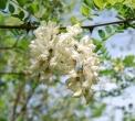 fiore di acacia..acacia in fiore..fiori profumati di acacia..dai fiori di acacia o robinia le api producono buon miele
