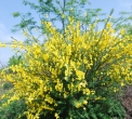 fiore di brughiera..nella brughiera crescono fiori e piante..fiore di ginestra..ginestra arbusto della brughiera