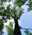 pianta di quercia..quercia nel bosco..nei boschi di quercia vivono tanti animali..bosco di quercie..animali del bosco nidificano sulle quercie..quercia della fattoria