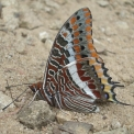 farfalla..farfallina..farfalla in volo..farfalla sul fiore della fattoria..farfalla charaxes di origine tropicale..farfalla colorata con spiritromba..