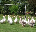 immagine di oche che pascolano nel prato..oca in un prato..oca della fattoria didattica..foto di oche in gruppo sul prato dell'agriturismo..
