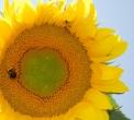 ape sul fiore di girasolebombo sul fiorebombo