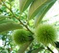 frutto del castagno o achenio..castagno in fattoria..albero di castagno in fattoria didattica..castagne sull'albero,frutto castagno,castagno malattie,riccio castagno