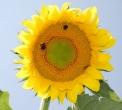 insetti sul fiore di girasoleape della fattoria