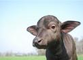 annutolo di bufala..foto di piccolo di bufala..bufalino in fattoria..bufala della fattoria didattica..mozzarella di bufala alta qualità