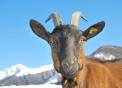 capra di montagna..capra di razza camosciata..capretta in fattoria..capra della fattoria didattica..becco maschio della capra..
