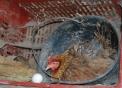 gallina mentre cova le uova..americanella piccola gallina della fattoria..gallina con pulcini..il maschio della gallina si chiama gallo