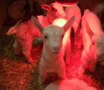 foto animali della fattoria,fattorie didattiche:capre-il capretto deve rimanere al caldo sotto ad una lampada.Il latte fresco appena munto è genuino,agriturismi in provincia di varese,fattoria animali