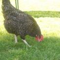gallina della fattoria..gallina in un agriturismo..galline e galli della fattoria didattica per bambini