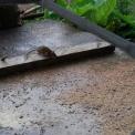 topo in fattoria..topolino della fattoria..foto di ratto in fattoria..ratto o topo roditore dannoso in fattoria..educazione ambientale in fattoria,topo cosa mangia,topo malattie