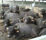foto animali della fattoria,fattorie didattiche:bufale-con il nostro latte si fà dell'ottima mozzarella.Bere ilo latte fresco appena munto dai distributori di latte.agriturismi in provincia di varese,fattoria animali
