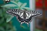 farfalla in fattoriafarfalla nel prato della fatt