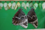 crisalide di farfalla,pupa di farfalla,bruco d farfalla,farfalla adulta in fattoria