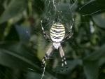ragno in fattoria,ragnatela con ragno,ragno della fattoria didattica,argiope bruennichi aracnide