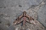 farfalla notturna in fattoria didattica,immagine di farfalla notturna,sfinge del convolvolo farfalla notturna