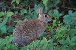 immagine di lepre,foto di mini lepre,piccolo coniglio selvatico della fattoria,mini lepre sul prato fattoria didattica,agriturismo lepre,coniglietto impaurito