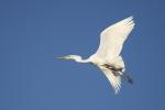 airone bianco immagine,foto di airone bianco,airone bianco in volo sulla fattoria,agriturismo airone bianco