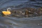 carpa immagine,pesce carpa in stagno,carpa pesce di palude,agriturismo carpa pesce,fattoria con pesci,carpa in acqua