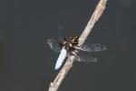 libellula immagine,agriturismo libellula,libellula nello stagno della fattoria,libellula volo,libellula del laghetto,palude con libellule