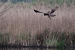 falco di palude immagine,fattoria falco di palude,agriturismo falco di palude,falco di palude nel lago,falco di palude rapace dello stagno
