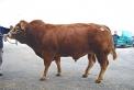 toro della fattoria..toro limousine in fattoria didattica...fattorie didattiche della lombardia..agriturismo b&b con animali e prodotti tipici..agriturismo con limousine,agriturismo con chianine,agriturismo con mucche piemontesi