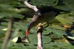 tarabusino immagine,tarabusino nello stagno,agriturismo tarabusino,tarabusino nel lago,tarabusino uccello di palude
