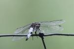 libellula immaginelibellula dello stagno in fatto
