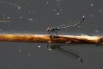 damigella immagine,damigella insetto,agriturismo damigella,damigella nello stagno,damigella in volo sul lago,