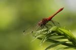 libellula simpetro sanguineo,libellula rossa,libellula sull'acqua,agriturismo libellula,fattoria libellula stagno,laghetto con libellule