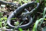 serpente immagine,biacco nel bosco,biscia con topo,serpente mangia topo,biacco che striscia,biacco rettile del bosco