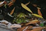 accoppiamento rane immagine,rana femmina e rana maschio,rana verde nello stagno,rana verde canto,agriturismo rana verde