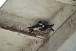 balestrucci costruiscono il nido,balestruccio maschio e balestruccio femmina,balestruccio uccello migratore,nido di balestruccio