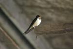 rondine a caccia di insetti,maschio di rondine in fattoria,rondine uccello migratore,in autunno le rondini migrano