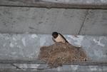 nido di rondine,rondine nel nido,rondine cova le uova,nido di rondine in fattoria,rondine sul nido della fattoria didattica